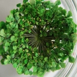 Сухоцвет Зеленый