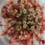 Сухоцвет Светло-розовый