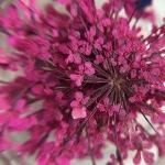 Сухоцвет Малиновый
