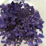 Сухоцвет Фиолетовый
